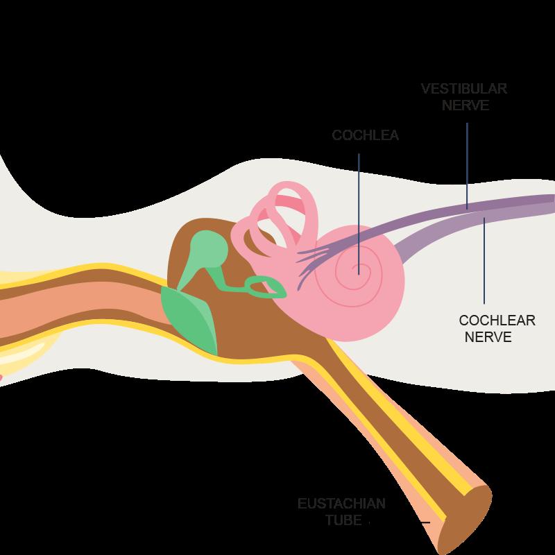Inner Ear Anatomy